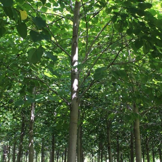 欧洲椴树价格 欧洲小叶椴椴树基地直销