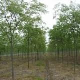 3公分地径红榉树价格 江苏红榉树基地