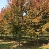美国红枫哪里有卖 山东美国红枫基地批发