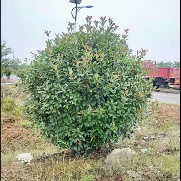 80冠幅红叶石楠球价格  红叶石楠球基地