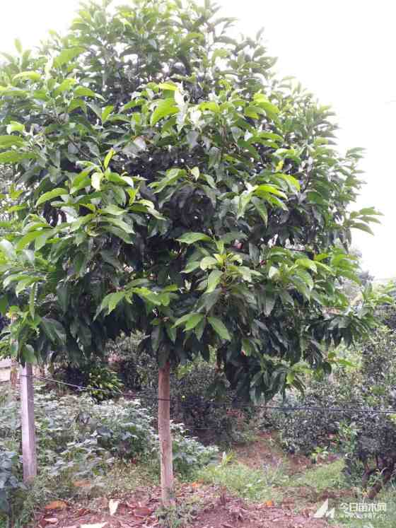 四川成都黄角兰8公分10公分15黄桷兰批发质优价廉农户直销树形好