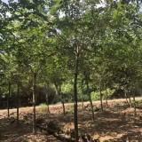 江蘇8公分樸樹價格 樸樹多少錢一棵