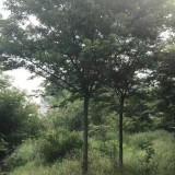 8公分榉树价格 江苏榉树基地批发