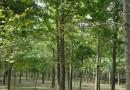 地径3公分银杏多少钱一棵 江苏银杏基地