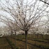 3公分樱花树价格  江苏樱花树基地