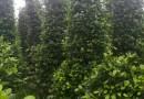 30公分高精品绿宝