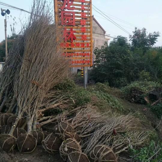 6公分冠幅木槿價格  江蘇木槿基地