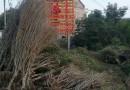 8公分冠幅木槿多少钱一棵 江苏木槿基地