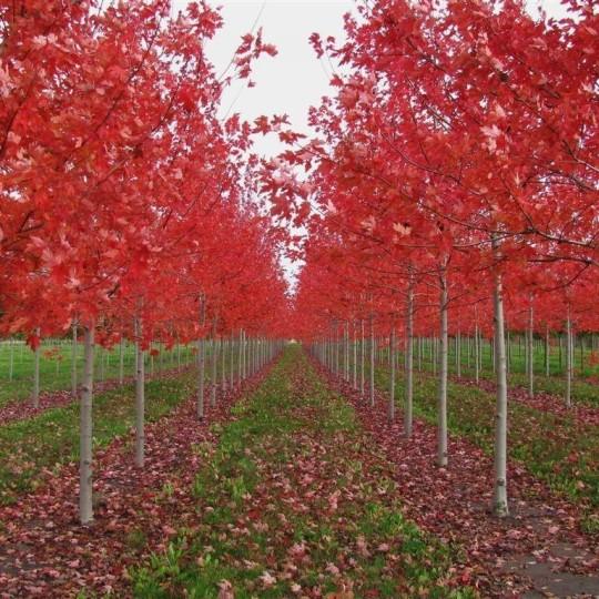 5公分美国红枫价格 湖北美国红枫基地