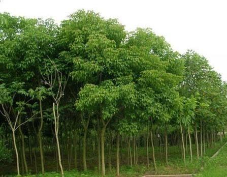 米径5公分重阳木价格 湖北重阳木基地