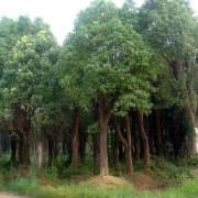 米径5公分香樟树价格 湖北香樟树基地