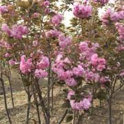 米径5公分樱花树价格 湖北樱花基地