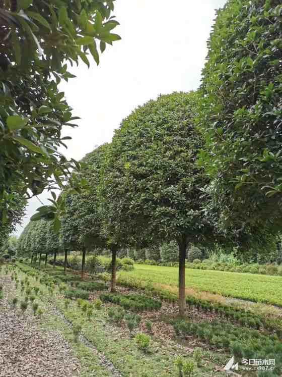 12公分桂花树价格 江苏桂花树基地
