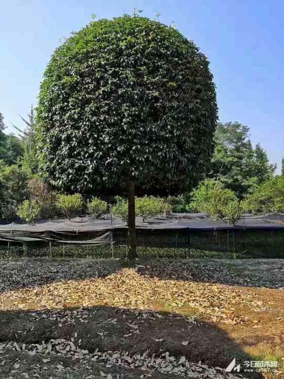 22公分桂花树价格 江苏桂花树基地
