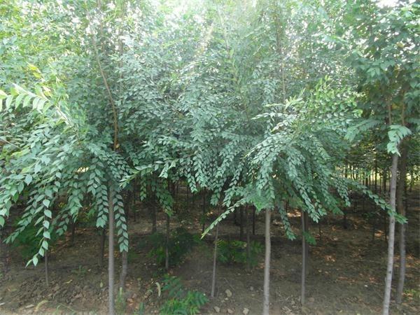 榆树苗多少钱一棵