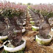 1.5米高花瓶海棠价格 江苏海棠造型基地