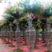 1.2米高花瓶紫薇价格 江苏造型紫薇基地