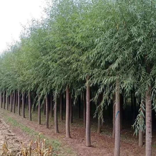 旱柳樹苗價格 旱柳多少錢一棵?