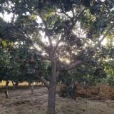6公分山楂树价格 江苏山楂树基地