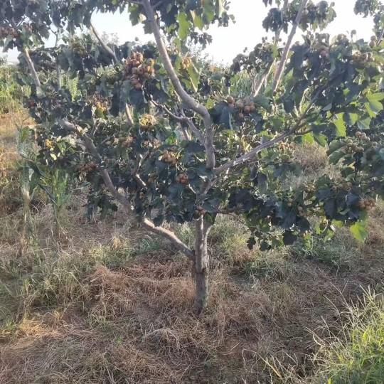 7公分山楂树价格 江苏山楂树基地