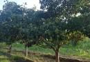 5公分山楂树价格 江苏山楂树基地