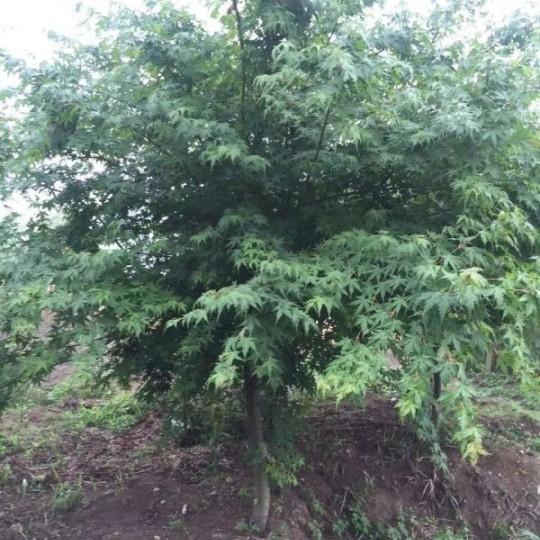 地径3公分鸡爪槭价格 江苏鸡爪槭基地
