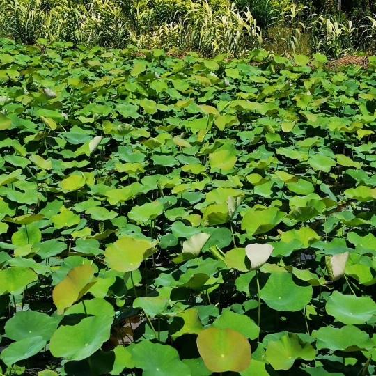 水生植物荷花盆苗