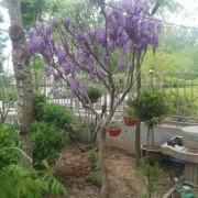 3公分紫藤树价格 江苏紫藤树基地