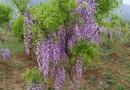 2公分紫藤树价格 江苏紫藤树基地