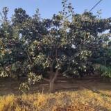 10公分山楂树价格 江苏山楂树基地