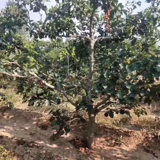 9公分山楂树价格 江苏山楂树基地