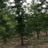 12公分池杉价格 江苏池杉基地