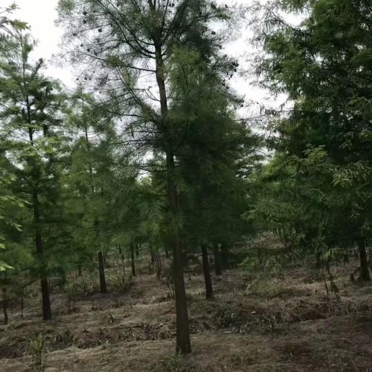 5公分池杉价格 江苏池杉基地