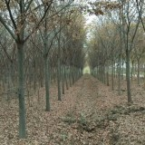 8公分榉树价格 江苏榉树基地