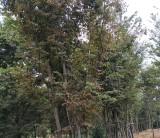 丛生榉树价格 句容大规格丛生榉树低价处理