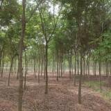 5公分榉树价格 江苏榉树基地