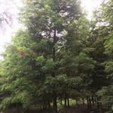 18公分中山杉价格 江苏中山杉基地