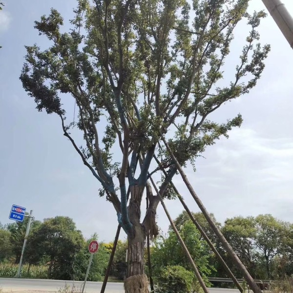 25公分榉树价格 江苏榉树基地