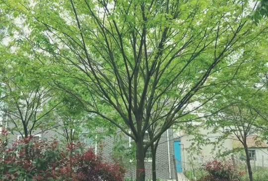 15公分榉树价格 江苏榉树基地