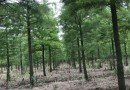 3公分水杉价格 江苏水杉基地