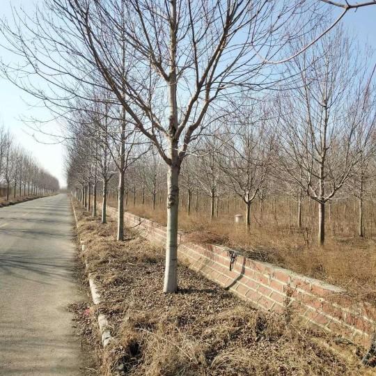 8公分美国红枫行情 江苏美国红枫基地