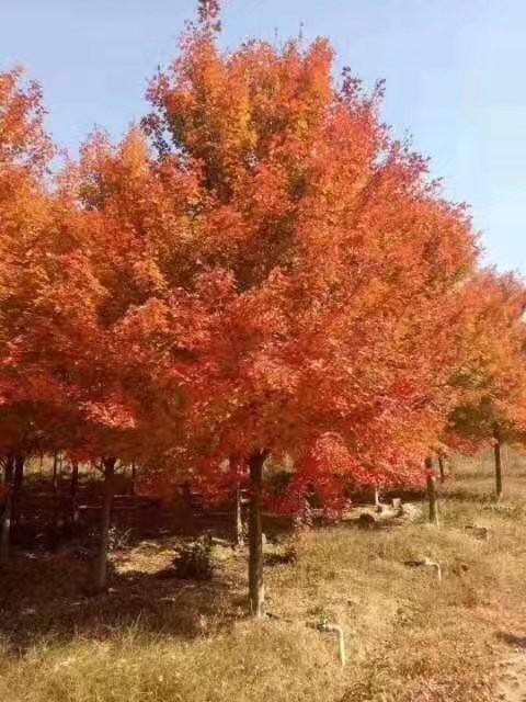 25公分美国红枫价格 江苏美国红枫基地