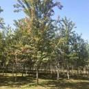 12公分美国红枫价格 江苏美国红枫基地
