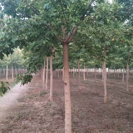 8公分金叶复叶槭价格 江苏金叶复叶槭基地