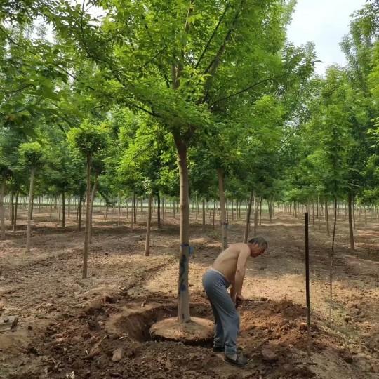 10公分金叶复叶槭价格 江苏金叶复叶槭基地