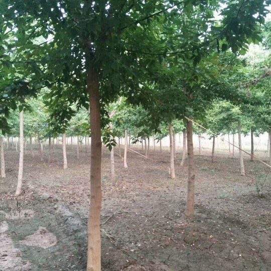 8公分青叶复叶槭价格 江苏复叶槭基地