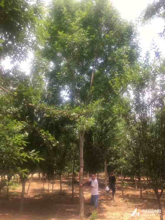 20公分白蠟樹價格 江蘇白蠟樹基地
