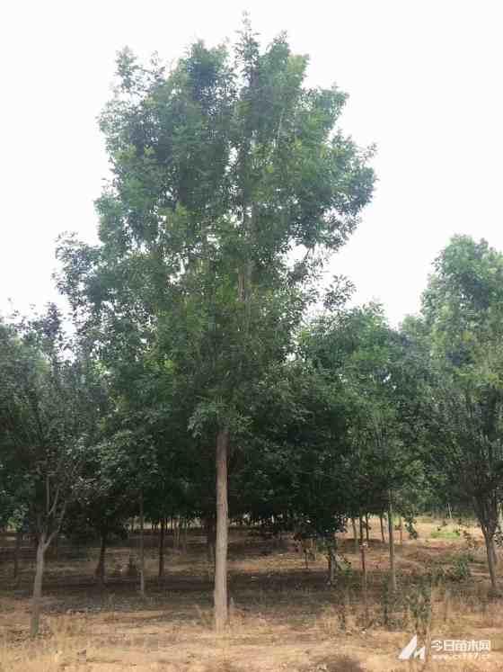 30公分白蜡树价格 江苏白蜡树基地