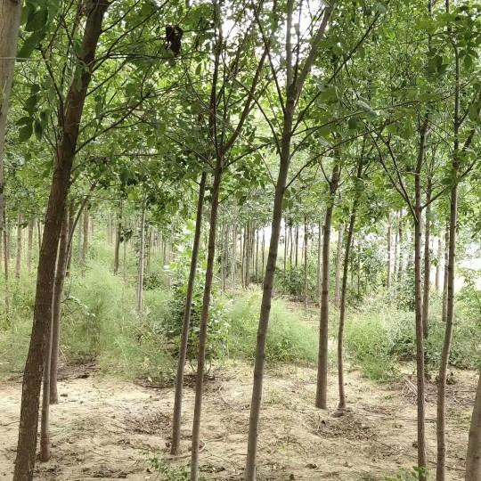 3公分白蠟樹價格 江蘇白蠟樹基地