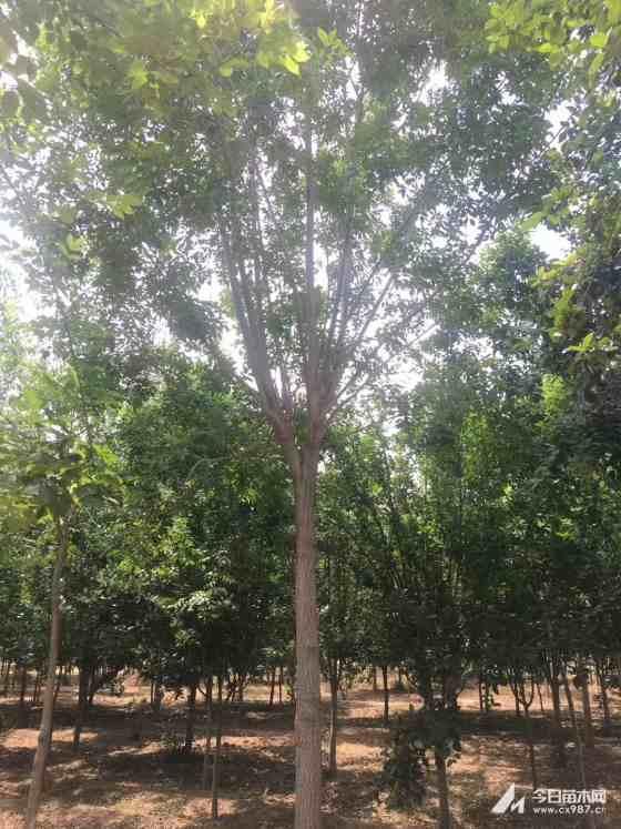 3五月天开心激情网白蜡树价格 江苏白蜡树基地